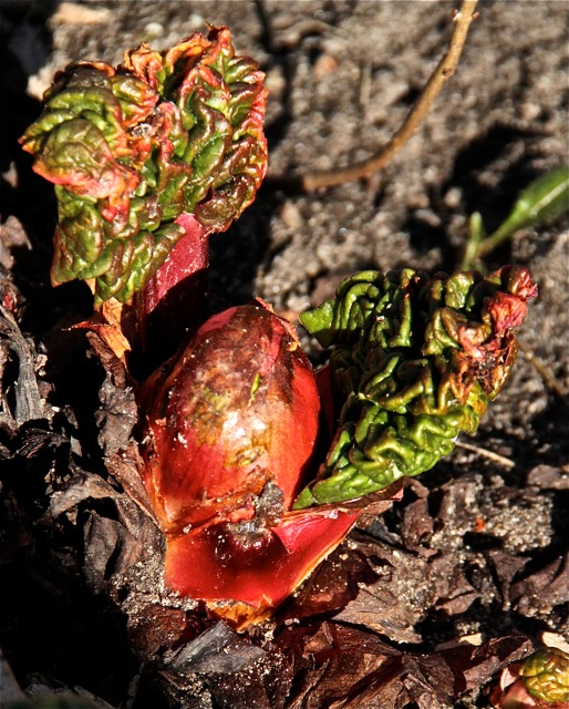 180501bbcut-rhubarb5