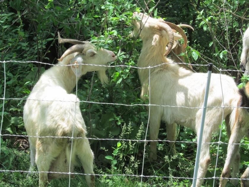180613bbcut-goats2