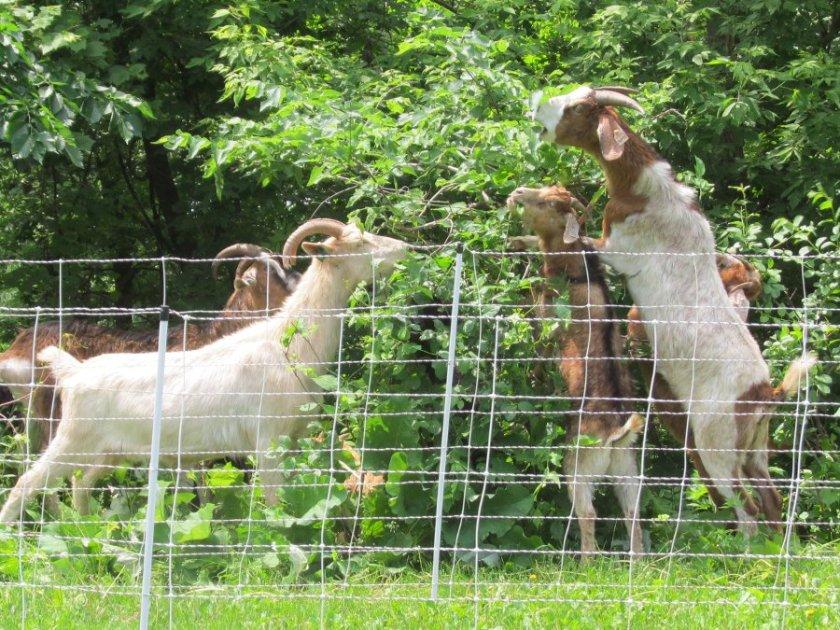 180613bbcut-goats4