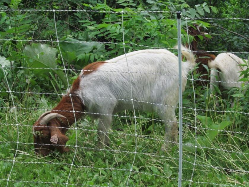 180613bbcut-goats5