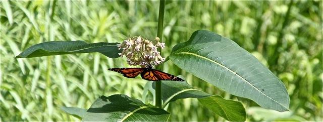 180704bbcut-milkweed1