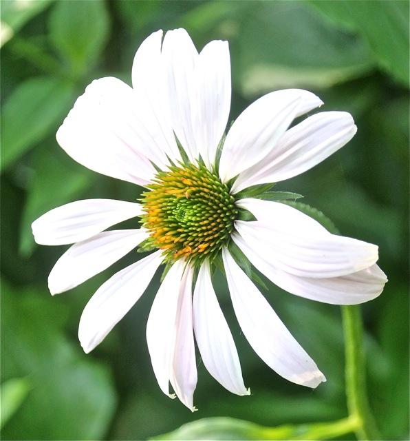 180704bbcut-milkweed3
