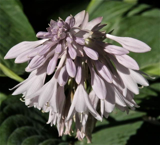180704bbcut-milkweed4