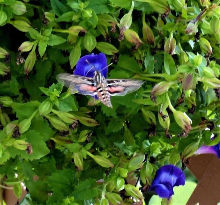 180807bbcut-hummingbirdmoth2