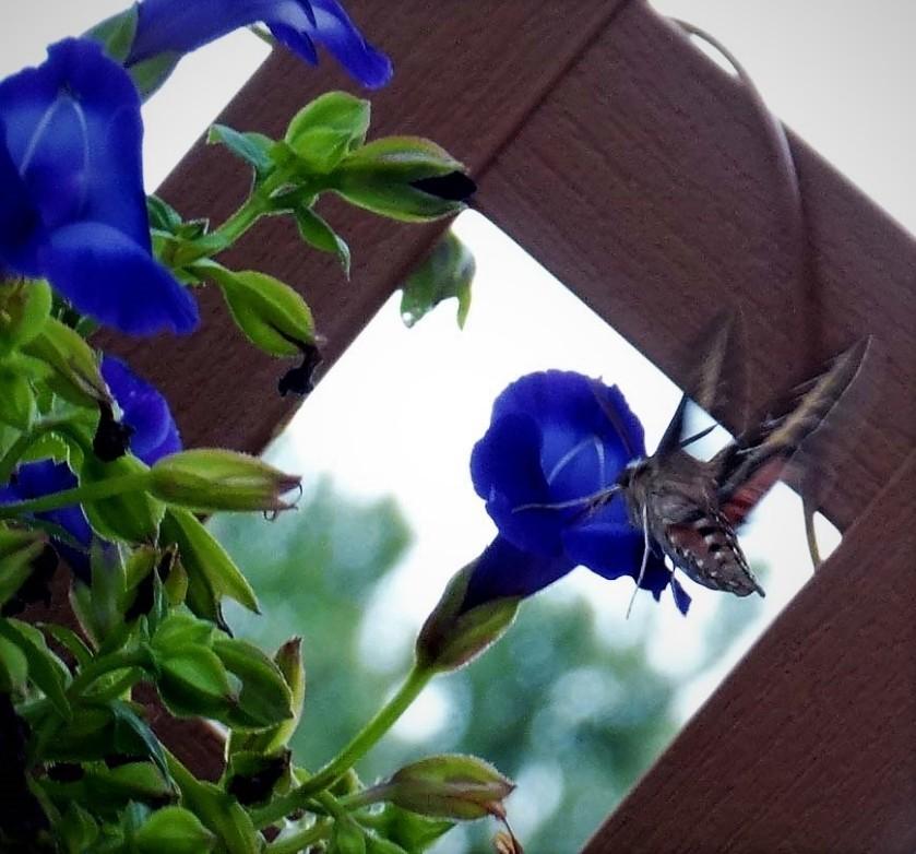 180807bbcut-hummingbirdmoth3