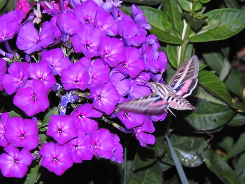 180807bbcut-hummingbirdmoth4