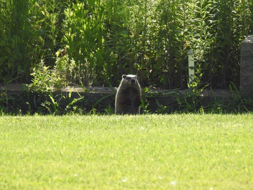 180816bbcut-groundhog1
