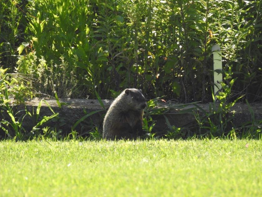 180816bbcut-groundhog2