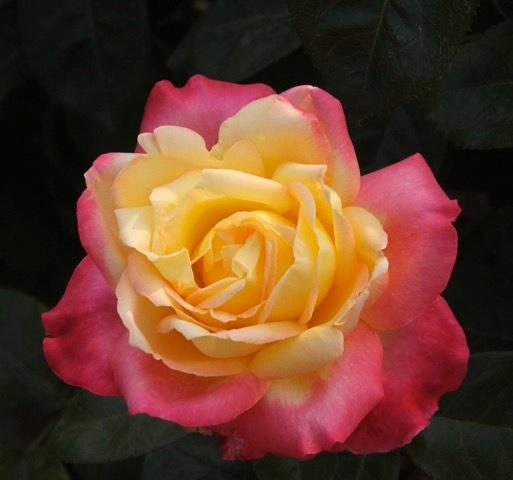 180829bbcut-rose1