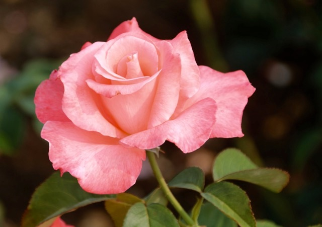 180829bbcut-rose2