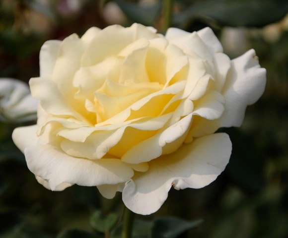 180829bbcut-rose3