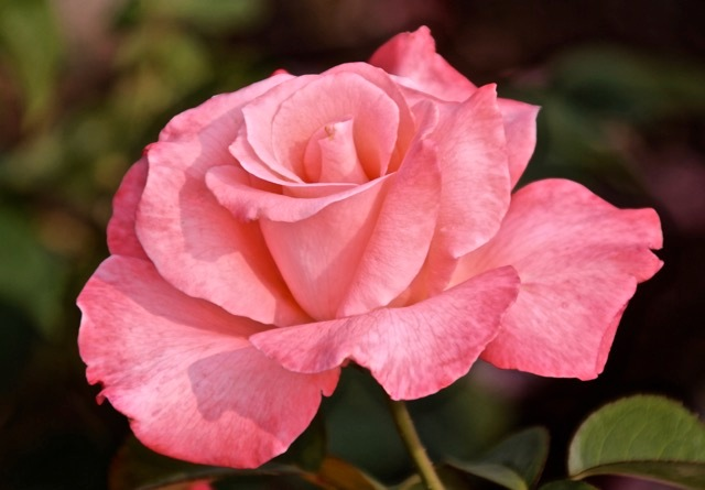 180829bbcut-rose4