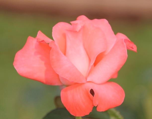 180829bbcut-rose5
