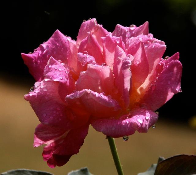 180829bbcut-rosedrops1