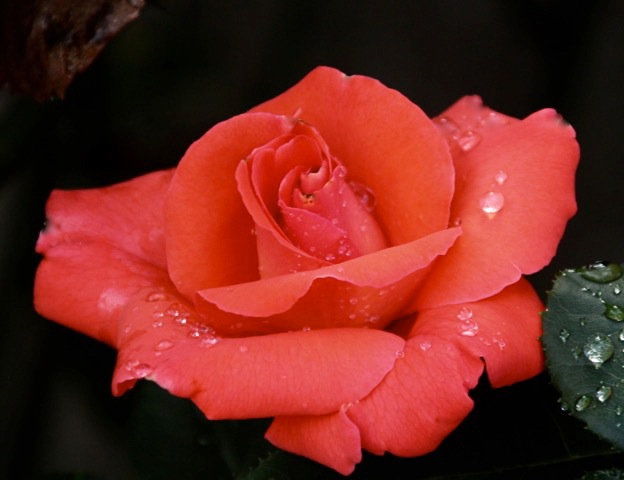 180829bbcut-rosedrops3