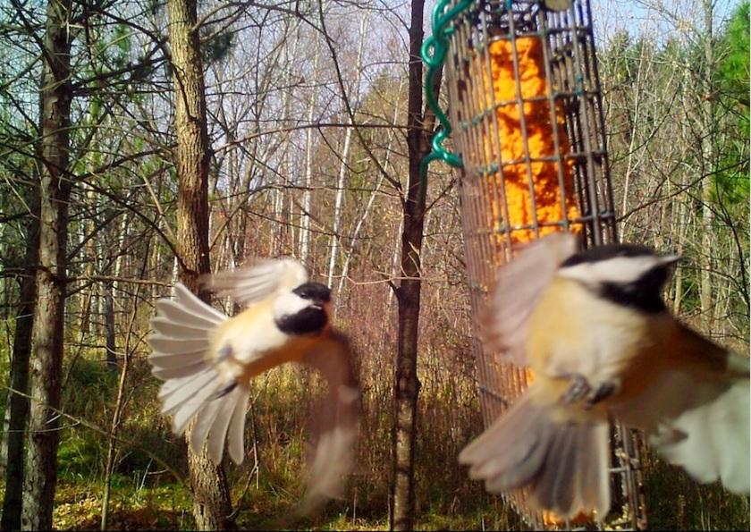 181106bbcut-chickadees