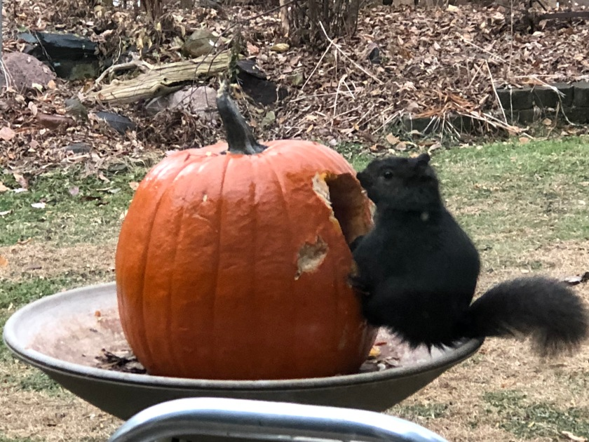 181130bbcut-squirrelpumpkin3