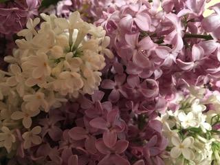 190217bbcut-lilacs