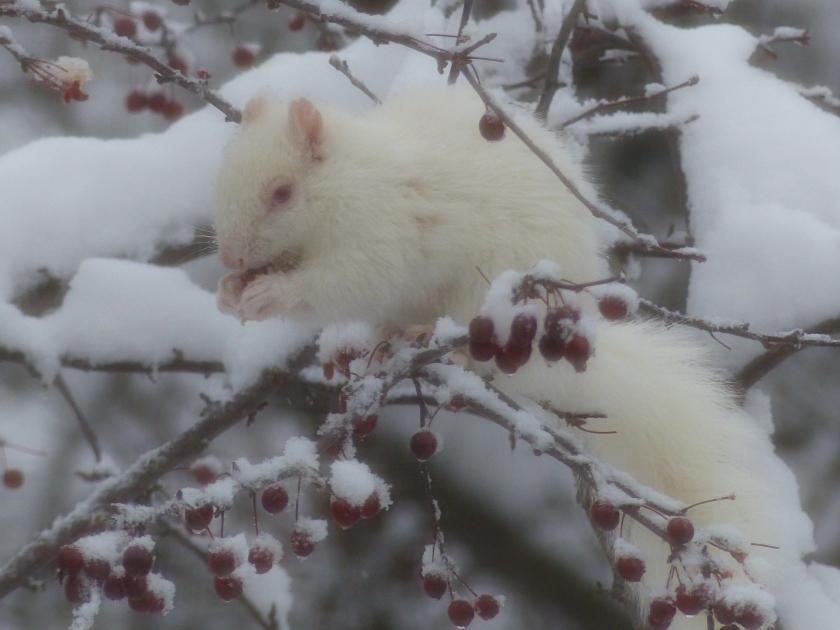 190320bbcut-albinosquirrel