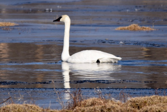 190402bbcut-swans2