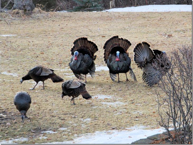 190402bbcut-turkeys2