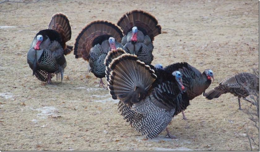 190402bbcut-turkeys3