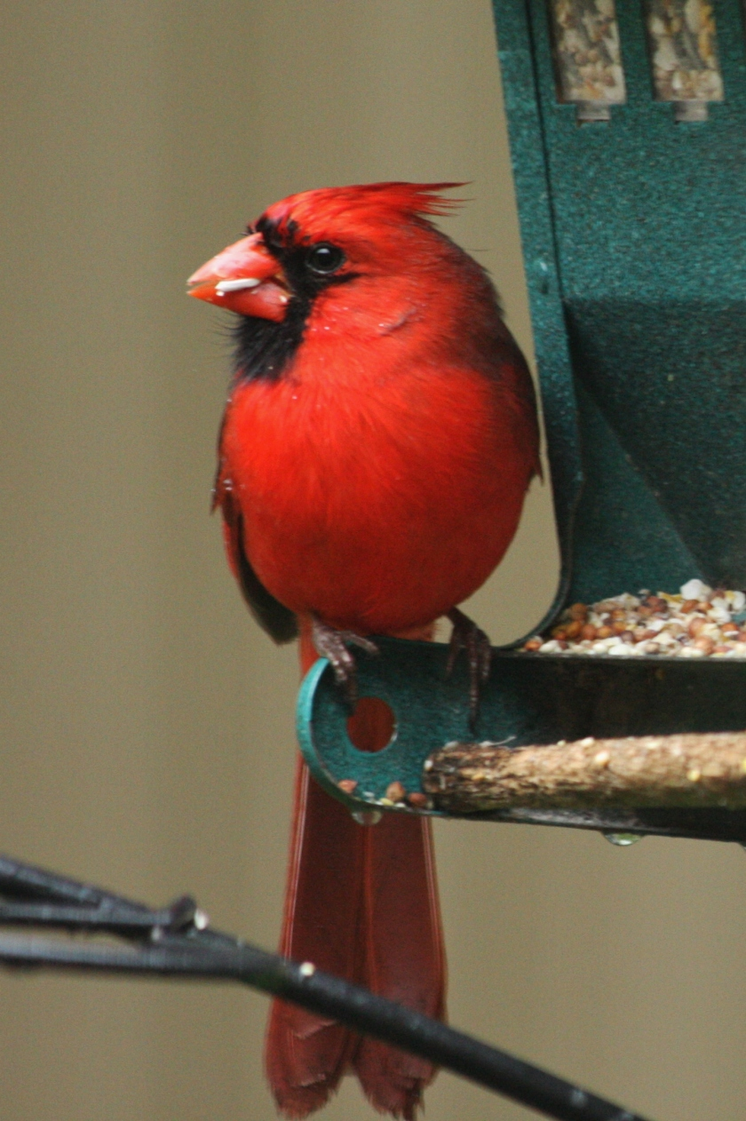 190621bbcut-cardinal