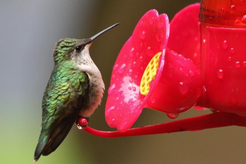 190621bbcut-hummingbird