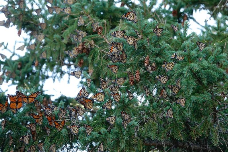 190924bbcut-monarchs1