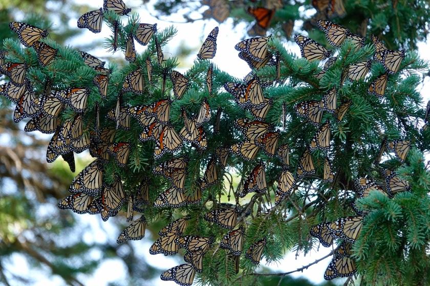 190924bbcut-monarchs2