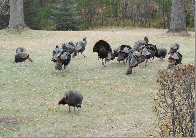 191111bbcut-turkeys3