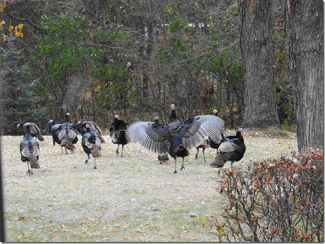 191111bbcut-turkeys5