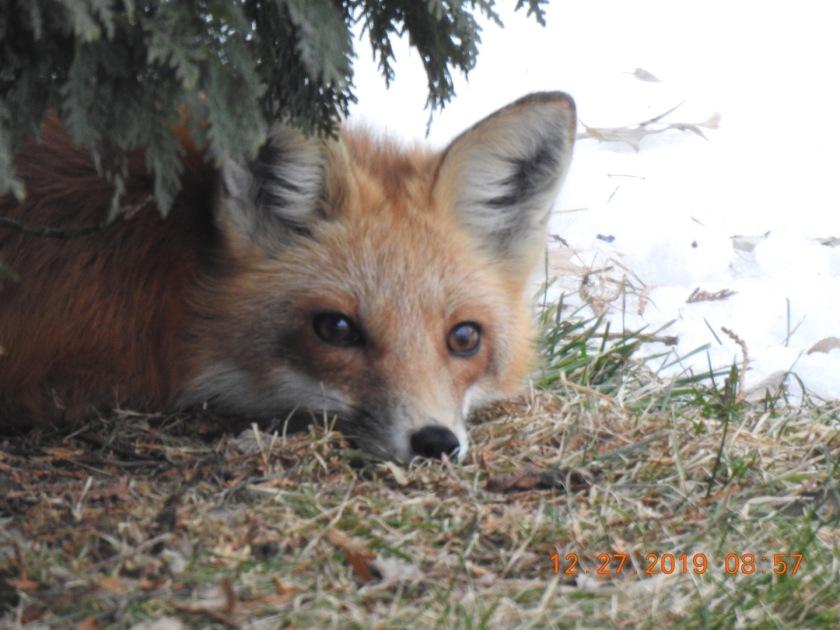 191229bbcut-fox