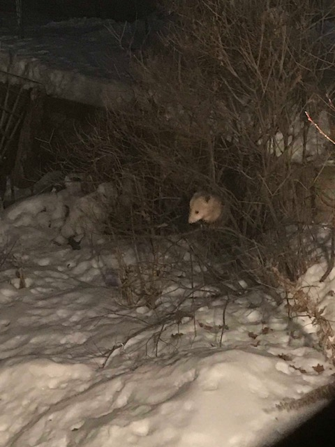 200211bbcut-possum