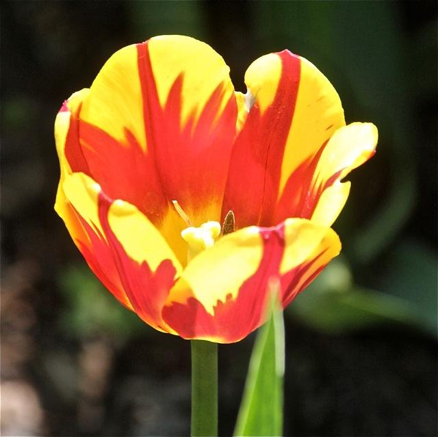 200526bbcut-tulip1