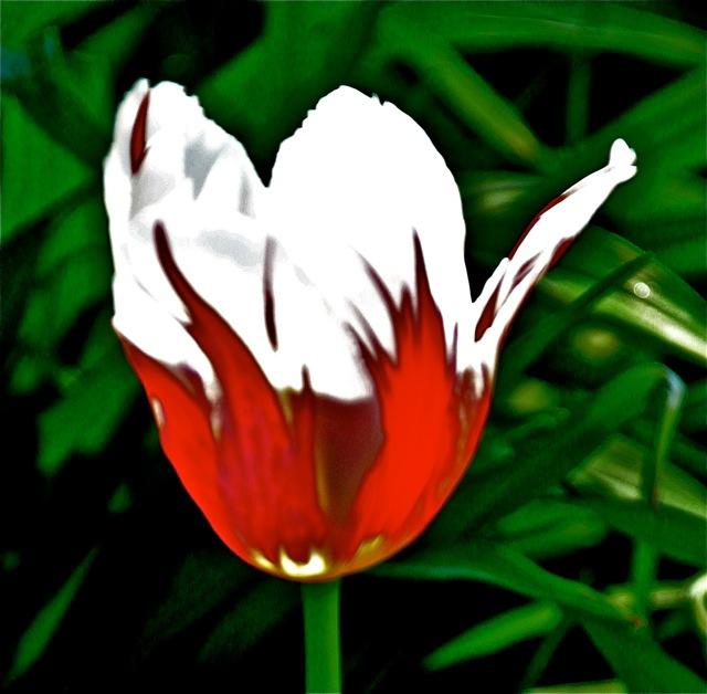200526bbcut-tulip3