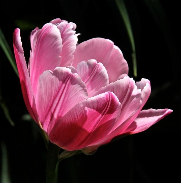 200526bbcut-tulip4