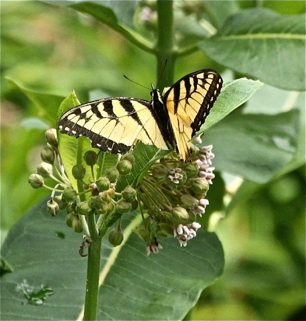 200630bbcut-butterfly2