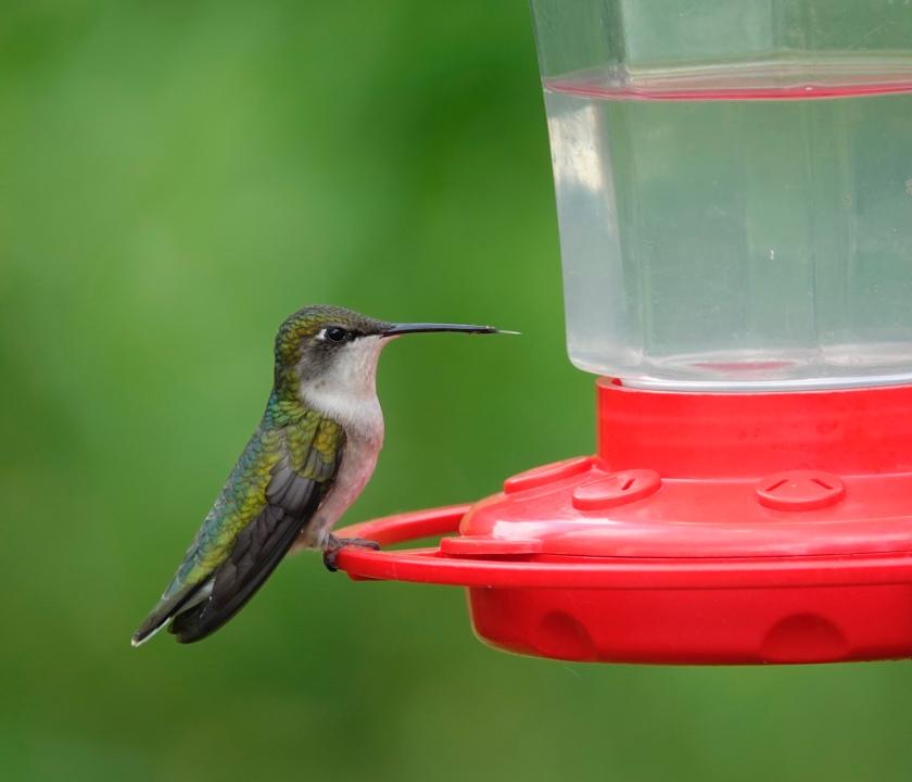 200708bbcut-hummingbird