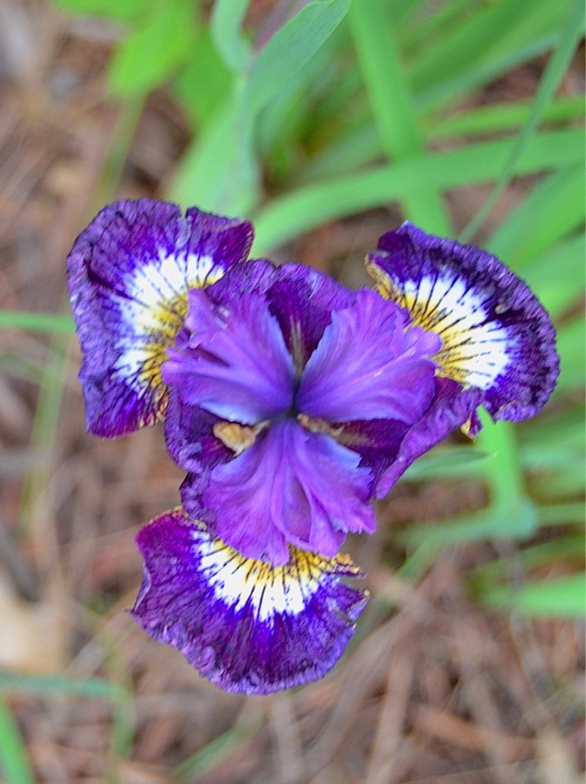 200708bbcut-iris
