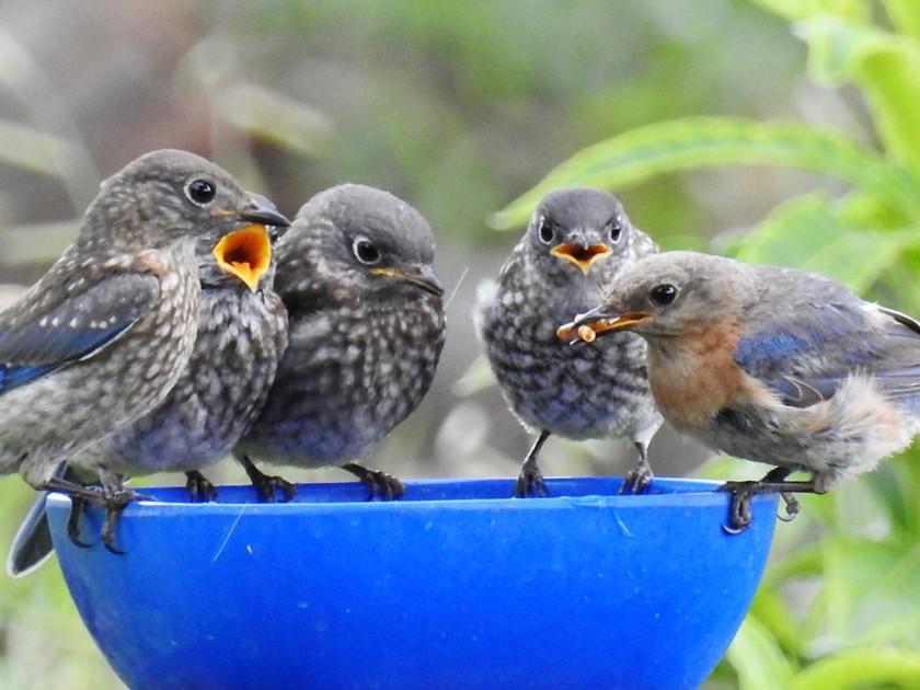 200805bbcut-bluebirds1