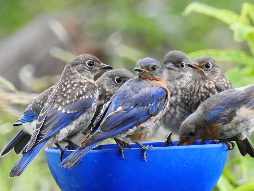 200805bbcut-bluebirds2